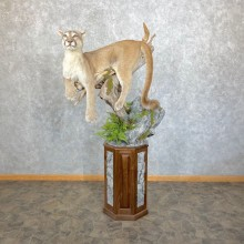 Mountain Lion Life-Size Mount For Sale #24479 @ The Taxidermy Store