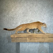 Mountain Lion Life-Size Mount For Sale #24574 @ The Taxidermy Store