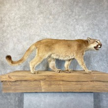 Mountain Lion Life-Size Mount For Sale #24575 @ The Taxidermy Store
