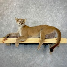 Mountain Lion Life-Size Mount For Sale #24847 @ The Taxidermy Store