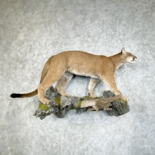 Mountain Lion Life-Size Mount For Sale #25323 @ The Taxidermy Store