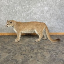 Mountain Lion Life-Size Mount For Sale #25407 @ The Taxidermy Store