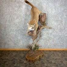 Mountain Lion Pedestal Mount For Sale #21735 @ The Taxidermy Store