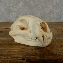 Mountain Lion Cougar Full Skull For Sale #17061 @ The Taxidermy Store