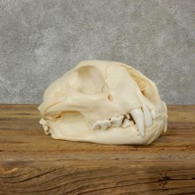 Mountain Lion Cougar Full Skull For Sale #17092 @ The Taxidermy Store