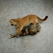 Mountain Lion Life-Size Mount For Sale #17033 @ The Taxidermy Store