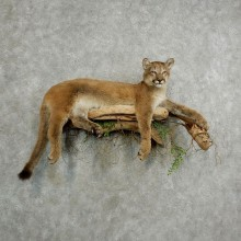 Mountain Lion Life-Size Mount For Sale #17034 @ The Taxidermy Store