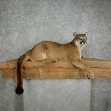 Mountain Lion Life Size Taxidermy Mount #17111 For Sale - The Taxidermy Store