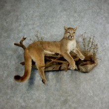 Mountain Lion Life Size Taxidermy Mount #17112 For Sale - The Taxidermy Store