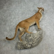Mountain Lion Life-Size Mount For Sale #17113 @ The Taxidermy Store