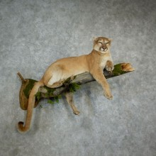 Mountain Lion Life Size Mount For Sale #17126 For Sale @ The Taxidermy Store
