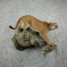 Mountain Lion Life-Size Mount For Sale #17161 @ The Taxidermy Store