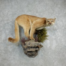 Mountain Lion Life-Size Mount For Sale #18105 @ The Taxidermy Store