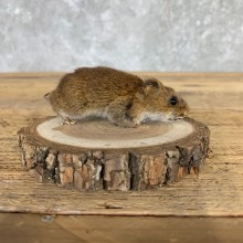 Mouse Life-Size Mount For Sale #21569 @ The Taxidermy Store