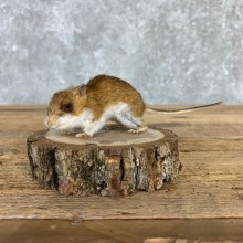 Mouse Life-Size Mount For Sale #21570 @ The Taxidermy Store