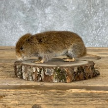 Mouse Life-Size Mount For Sale #21573 @ The Taxidermy Store