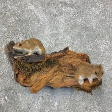 Mouse Pair Life-Size Mount For Sale #22953 @ The Taxidermy Store