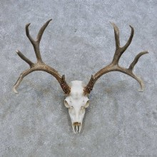 Mule Deer Skull European Mount For Sale #14649 @ The Taxidermy Store