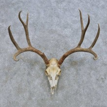 Mule Deer Skull European Mount For Sale #14651 @ The Taxidermy Store