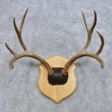 Mule Deer Antler Mount For Sale #14655 @ The Taxidermy Store
