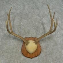 Mule Deer Skull European Mount For Sale #16623 @ The Taxidermy Store