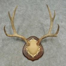 Mule Deer Skull European Mount For Sale #16626 @ The Taxidermy Store