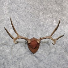 Mule Deer Antler Mount #11588 - For Sale @ The Taxidermy Store