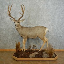 Mule Deer Life-Size Taxidermy Mount For Sale
