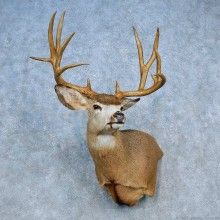 Mule Deer Shoulder Mount For Sale #15461 @ The Taxidermy Store