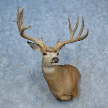Mule Deer Shoulder Mount For Sale #15462 @ The Taxidermy Store