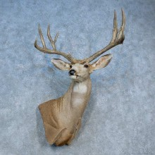 Mule Deer Shoulder Mount For Sale #15463 @ The Taxidermy Store