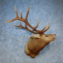 Rocky Mountain Elk Shoulder Mount For Sale #15512 @ The Taxidermy Store