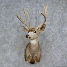 Mule Deer Shoulder Mount For Sale #15707 @ The Taxidermy Store