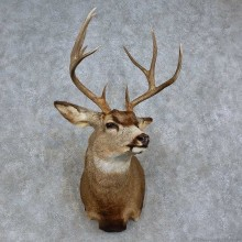 Mule Deer Shoulder Mount For Sale #15708 @ The Taxidermy Store