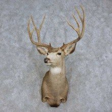 Mule Deer Shoulder Mount For Sale #15709 @ The Taxidermy Store