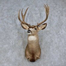 Mule Deer Shoulder Mount For Sale #15711 @ The Taxidermy Store