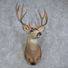 Mule Deer Shoulder Mount For Sale #15712 @ The Taxidermy Store