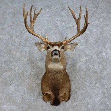 Mule Deer Shoulder Mount For Sale #15719 @ The Taxidermy Store