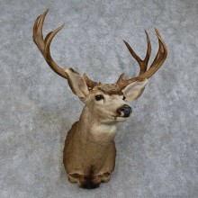 Mule Deer Shoulder Mount For Sale #15728 @ The Taxidermy Store