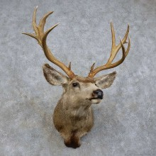 Mule Deer Shoulder Mount For Sale #15729 @ The Taxidermy Store