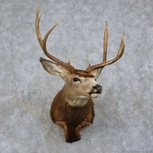 Mule Deer Shoulder Mount For Sale #15732 @ The Taxidermy Store