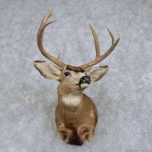 Mule Deer Shoulder Mount For Sale #15734 @ The Taxidermy Store