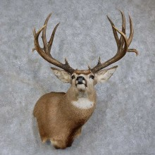 Mule Deer Shoulder Mount For Sale #15736 @ The Taxidermy Store