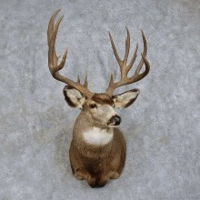 Mule Deer Shoulder Mount For Sale #15737 @ The Taxidermy Store