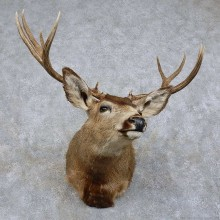 Mule Deer Shoulder Mount For Sale #15740 @ The Taxidermy Store