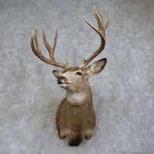 Mule Deer Shoulder Mount For Sale #15741 @ The Taxidermy Store