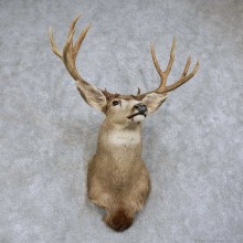 Mule Deer Shoulder Mount For Sale #15743 @ The Taxidermy Store