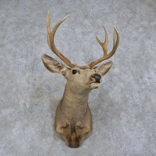 Mule Deer Shoulder Mount For Sale #15744 @ The Taxidermy Store