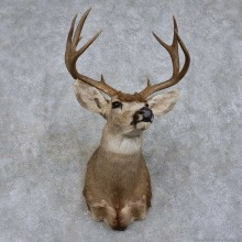 Mule Deer Shoulder Mount For Sale #15747 @ The Taxidermy Store