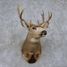 Mule Deer Shoulder Mount For Sale #15749 @ The Taxidermy Store